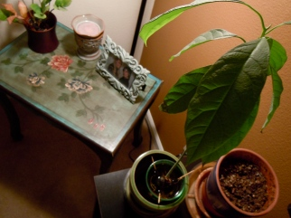 my avocado plant