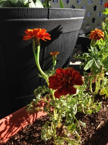 marigold sprouting